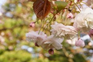 「フゲンゾウ」花弁が下向きに咲くのも特徴