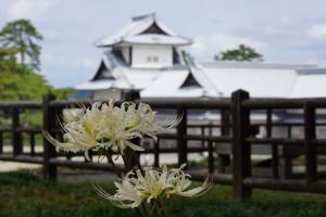 シロバナマンジュシャゲ(本丸御殿)