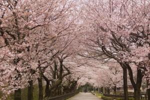 内堀沿いの桜のトンネル