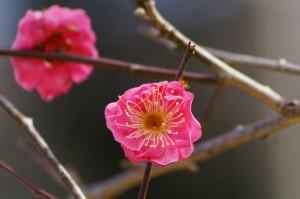八重寒紅(ヤエカンコウ)玉泉院丸庭園