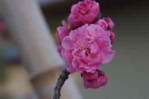 ヤエコウバイの花