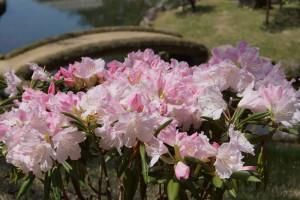 シャクナゲ(玉泉院丸庭園)
