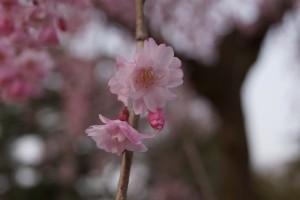 ヤエベニシダレの花