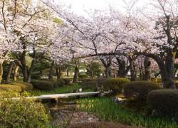 兼六園 曲水沿いの桜並木