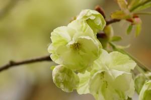 「ウコン」は薄い黄緑色で美しく特徴のある桜です。