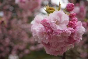 ヨウキヒの花