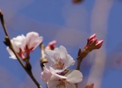 高岡越乃彼岸桜(タカオカコシノヒガンザクラ)