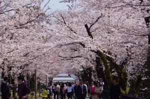桜並木と人波