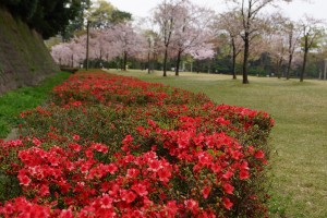 ツツジと桜(桜の園)