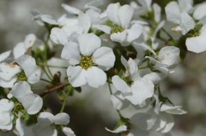玉泉院丸庭園の段落ちの滝左横で愛らしい「ユキヤナギ」の花が咲いていました。 小さい花弁ですがまとまって咲いているので結構周囲に引き立ちます。